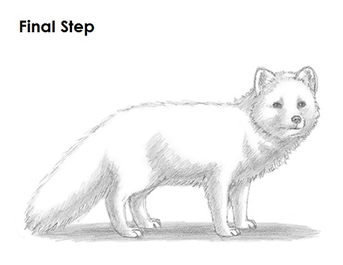 Draw Arctic Fox
