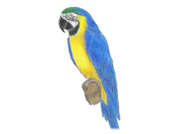 How to Draw a Blue and Yellow Macaw