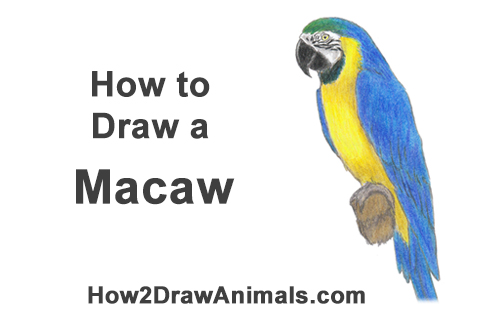 How to Draw a Blue Gold Macaw Bird