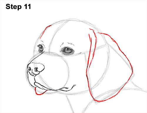 Draw Beagle Dog 11