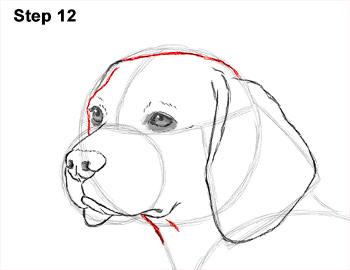 Draw Beagle Dog 12