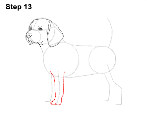 Draw Beagle Dog 13