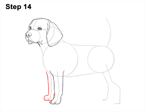 Draw Beagle Dog 14