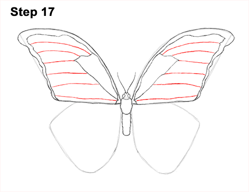 Draw Blue Morpho Butterfly 17