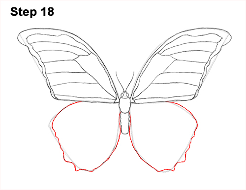 Draw Blue Morpho Butterfly 18