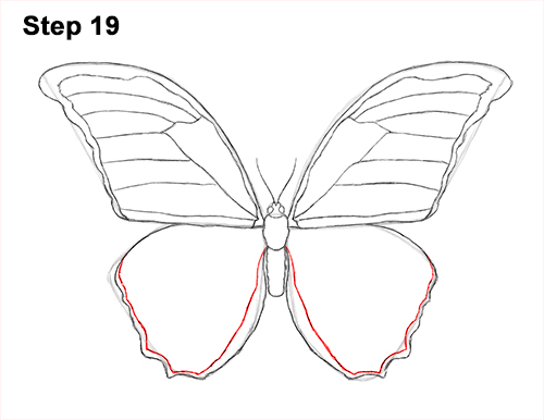 Draw Blue Morpho Butterfly 19
