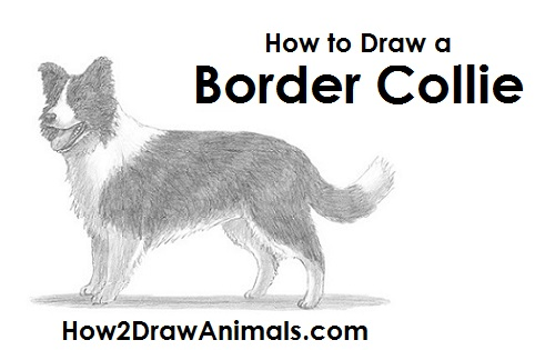 Draw Border Collie