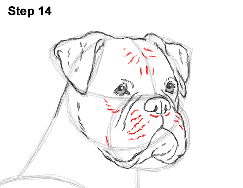 Draw Boxer Dog 14