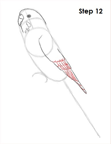 Draw Parakeet Bird 12