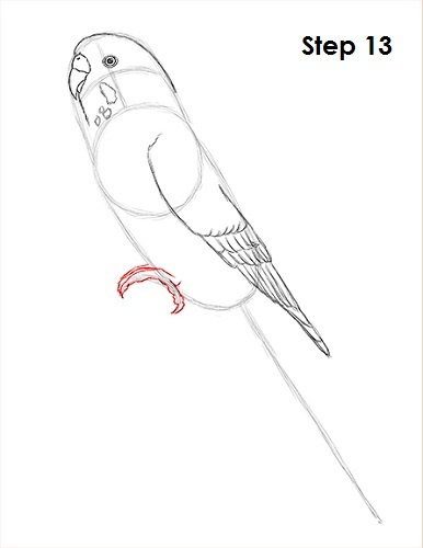 Draw Parakeet Bird 13