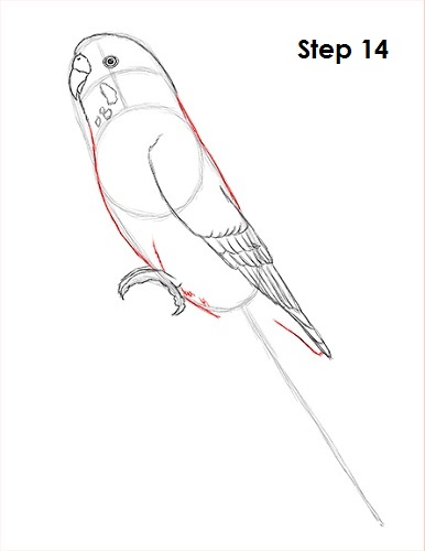 Draw Parakeet Bird 14