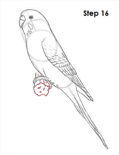 Draw Parakeet Bird 16