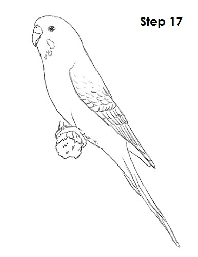 Draw Parakeet Bird 17