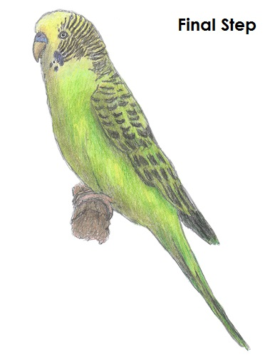 Draw Parakeet Bird