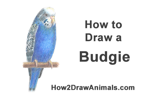 How to Draw Cute Budige Budgerigar Parakeet Bird Color Blue
