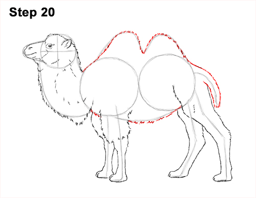 Draw a Bactrian Camel Two Humps 20