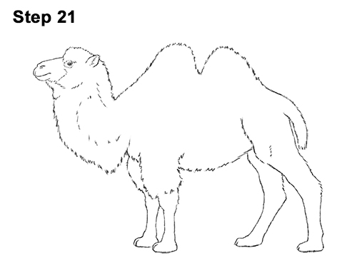 Draw a Bactrian Camel Two Humps 21
