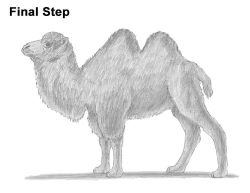 Draw a Bactrian Camel Two Humps