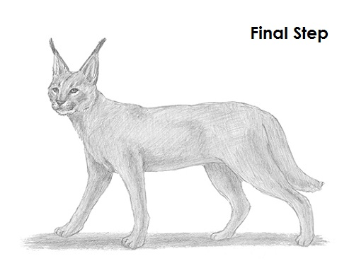 Caracal drawing - photo#6