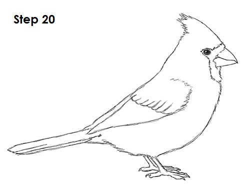 Line Drawing Of Animals And Birds : How to draw a cardinal