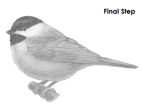 Draw Chickadee Final