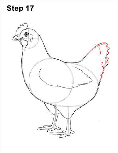 How to Draw a Chicken Hen Bird 17