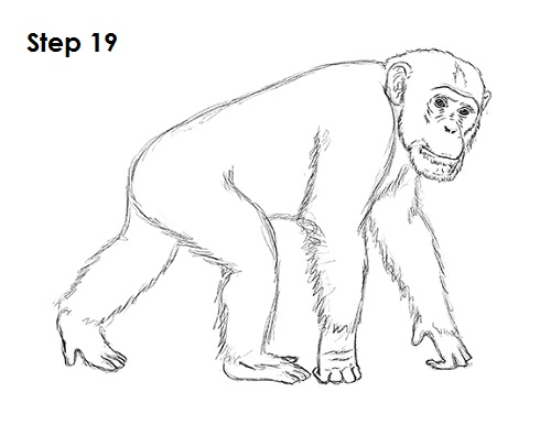 how to draw a chimpanzee