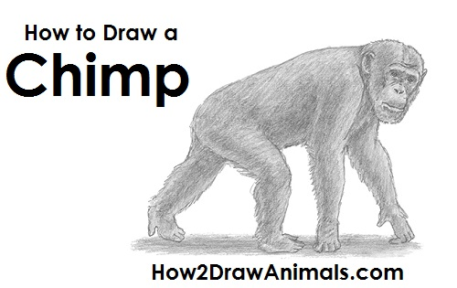 Draw Chimpanzee