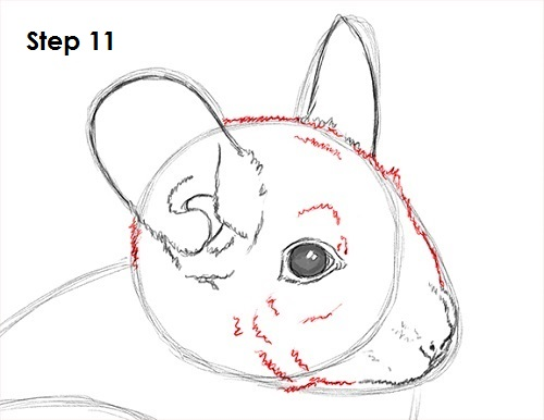 Draw Chinchilla 11