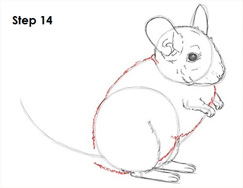 Draw Chinchilla 14