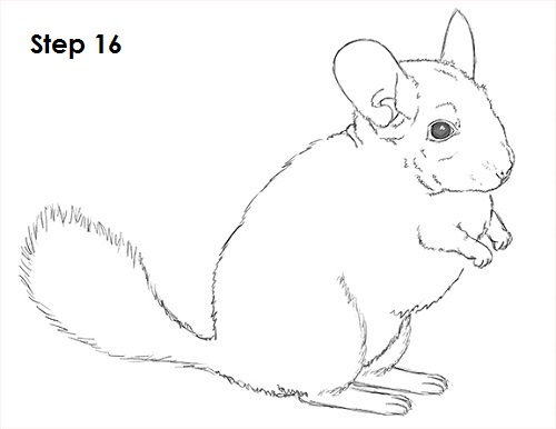 Draw Chinchilla 16