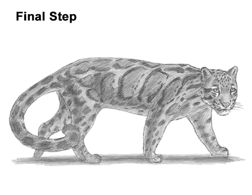 Draw Clouded Leopard