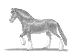 How to draw a Horse Clydesdale