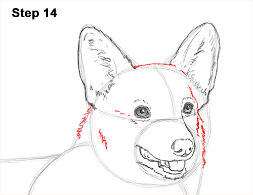 Draw Welsh Corgi Dog 14
