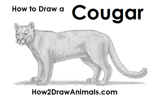draw cougar cat