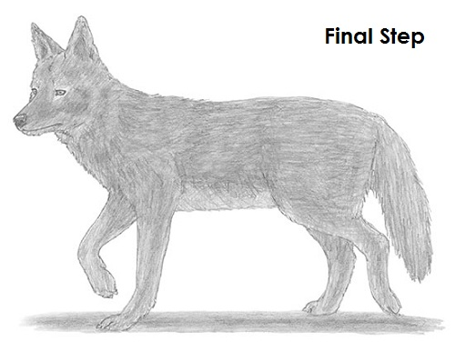 Draw Coyote Final