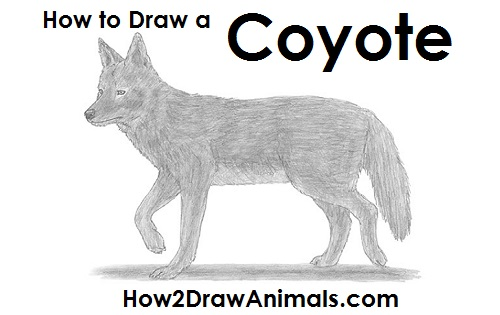 Draw Coyote