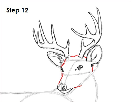 Draw white tailed deer 12