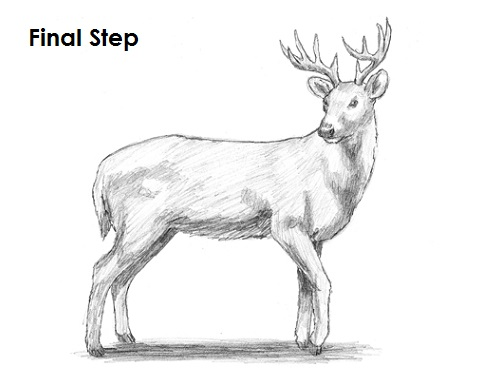 draw white tailed deer final