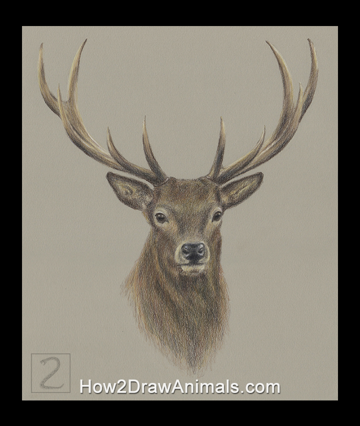 Deer Buck Portrait Drawing