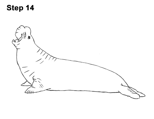 How to Draw Big Elephant Seal Bull Male Roaring 14
