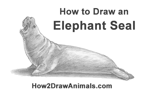 how to draw an elephant seal step by step