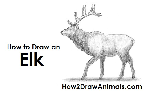 How To Draw An Elk