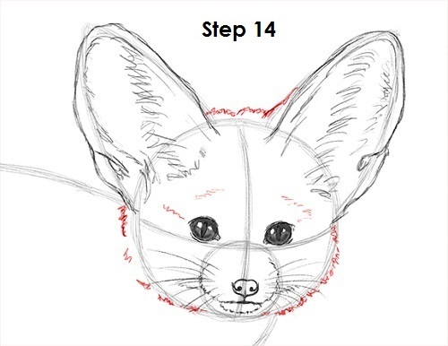 Draw Fennec Fox 14