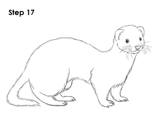 Ferret Drawing