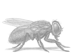 How to Draw a House Fly Insect Bug