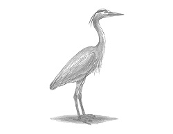 How to Draw Great Blue Heron Bird