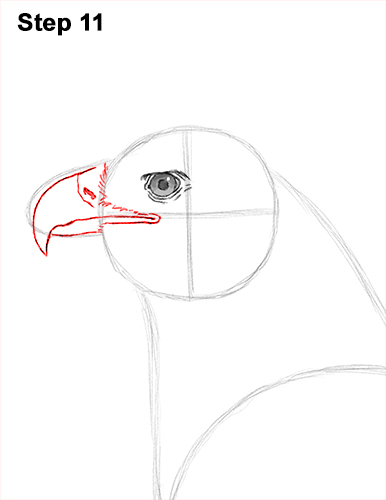 Draw Golden Eagle Bird 11