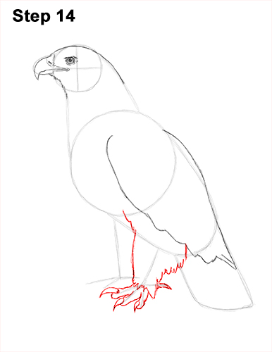 Draw Golden Eagle Bird 14