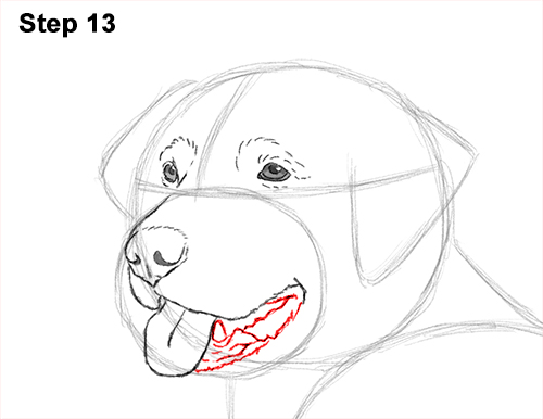 How to Draw a Golden Retriever Dog 13